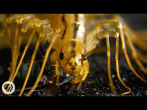 The House Centipede is Fast, Furious, and Just So Extra | Deep Look