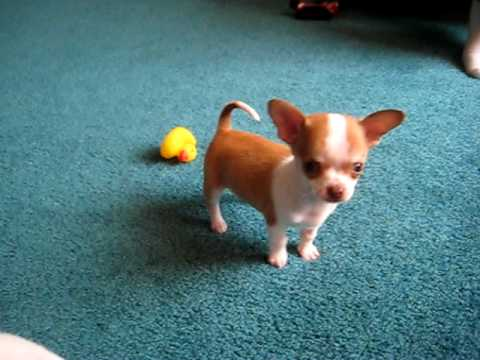 9 week old Chihuahua puppy playing