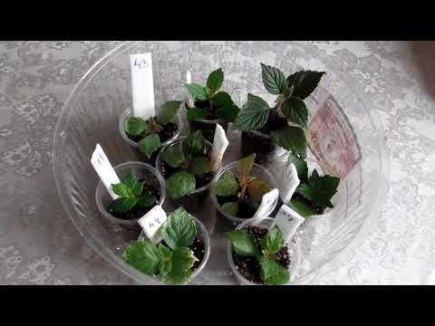 Как быстро размножить ахименес   (получить 2-3 растения) из одной ризомы