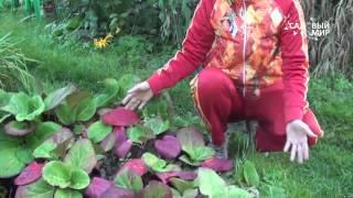 видео Бадан - лекарственные свойства