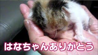 子猫保護から最期の日まで はなちゃんの小さな命を忘れない
