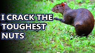 Agouti facts: tougher than nuts! | Animal Fact Files