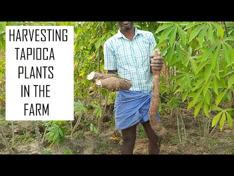 Organic Tapioca Cultivation / Harvesting tapioca / Harvesting Cassava