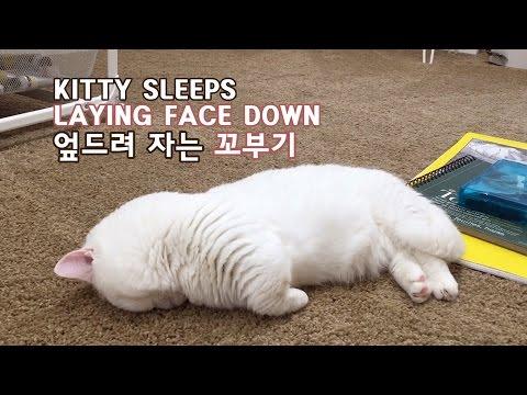 엎드려 자는 꼬부기 CAT SLEEPS LAYING FACE DOWN
