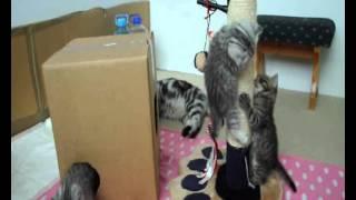 Британские котята Вискас.wmv