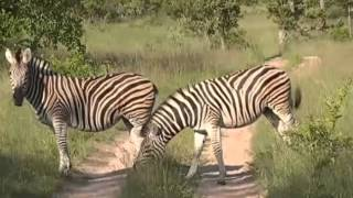 Zebry - dzika przyroda Afryki ,,Safari