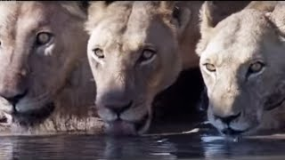 Lions attack elephant - Planet Earth - BBC