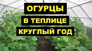 Выращивание Огурцов в теплице из поликарбоната как бизнес идея