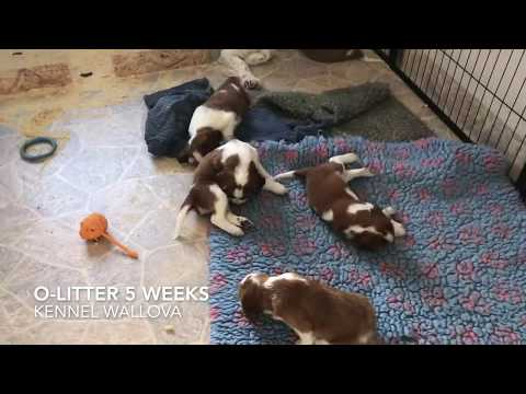 O-litter 5 weeks Welsh Springer Spaniel