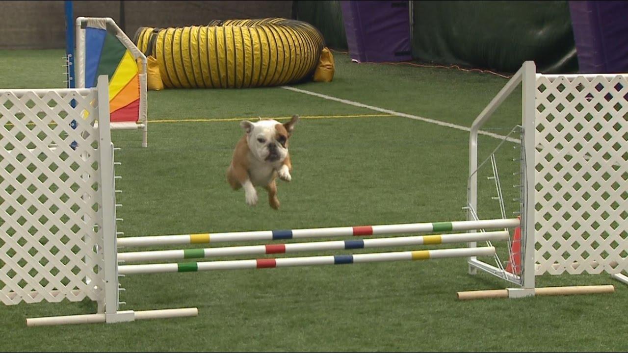 meet apricot, the top english bulldog in agility - youtube