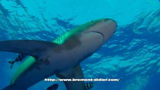 Requin oceanique - Requin longimanus - Oceanic whiltetip shark thumbnail