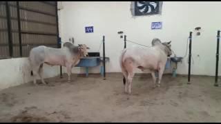 Racing sibi Bull Farm 2016 Multan