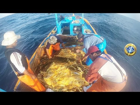 Mira Como Hombres de Mar Colectan OVAS de Peces Voladores (Exocoetidae)