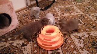 Игры маленьких британских котят