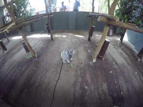 Koala-Lone Pine Koala Sanctuary