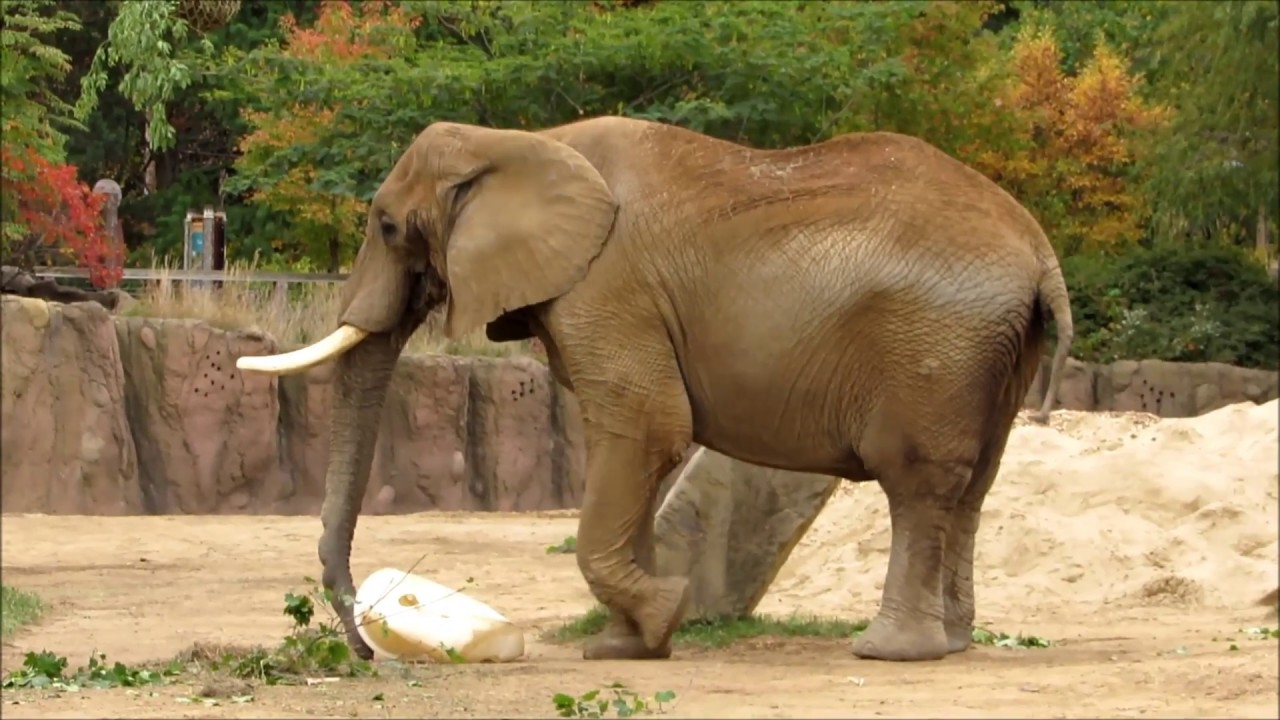 Cleveland Metroparks Zoo African Elephant Crossing YouTube