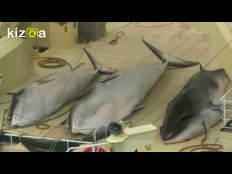 Barbaric footage of Japanese whaling the Australian government tried to stop the world seeing