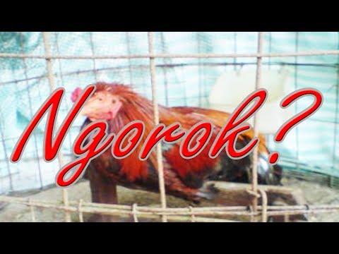 Www Cara Mengobati Ayam Bangkok Ngorok Baru