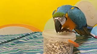 Попугай ара открывает коробку с кормом