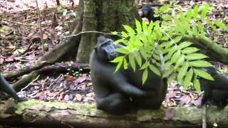 Repeat youtube video Warfare and cooperation: Interactions between groups in crested macaques