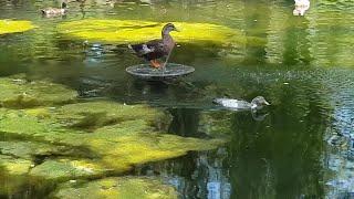 Las algas invaden la Isleta de los Patos del parque María Luisa de Sevilla