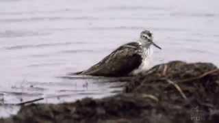 Linnut kalastavat, parittelevat ja peseytyvät - Birds fishing, bathing and mating - Pyykösjärvi