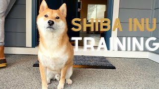 Tips for Shiba Inu owner that no one tells you about