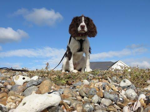 Phoebe - Springer Spaniel - 18 Day Residential Dog Training