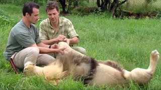 Attacked by a lion! | Extreme Animals | BBC Earth