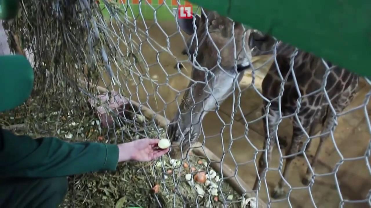 В красноярском зоопарке жирафов кормят луком, чтобы они не простудились в морозы