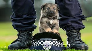 Funny and Cute German Shepherd Puppies Compilation #2  Funniest GSD