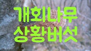 개회나무상황버섯,버섯,상황버섯