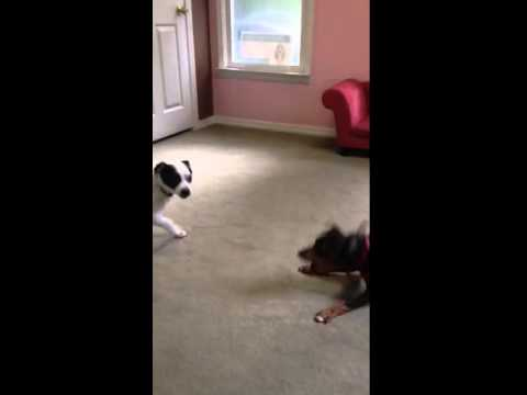 Beau (Manchester terrier) and Boston playing in doggy daycare