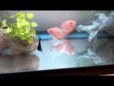 Red Severum/Angel Fish Update