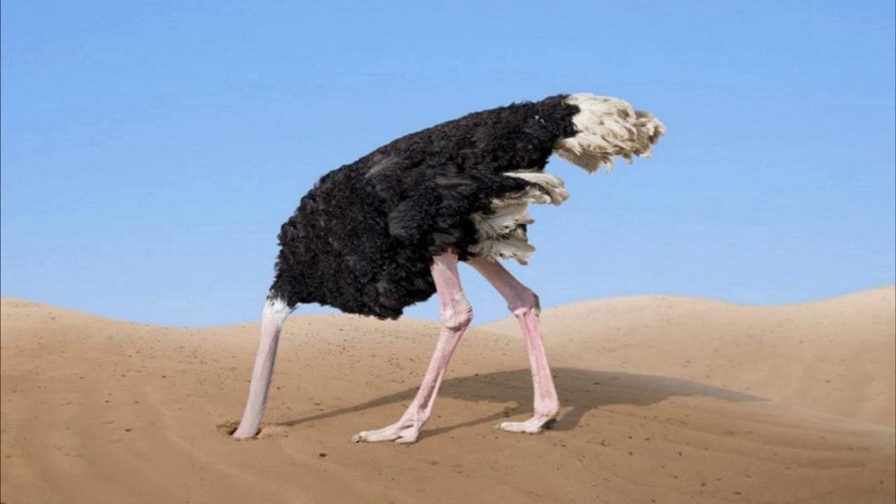 страус голова в песок фото