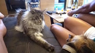 BIG MAINE COON CAT Hélios happy to meet his friend Yorkshire at home !! мейн куна