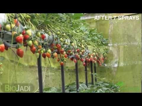 Organic Strawberries @ Mr. Choy's Strawberry Plantation