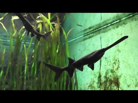 American Paddlefish in a aquarium in HD