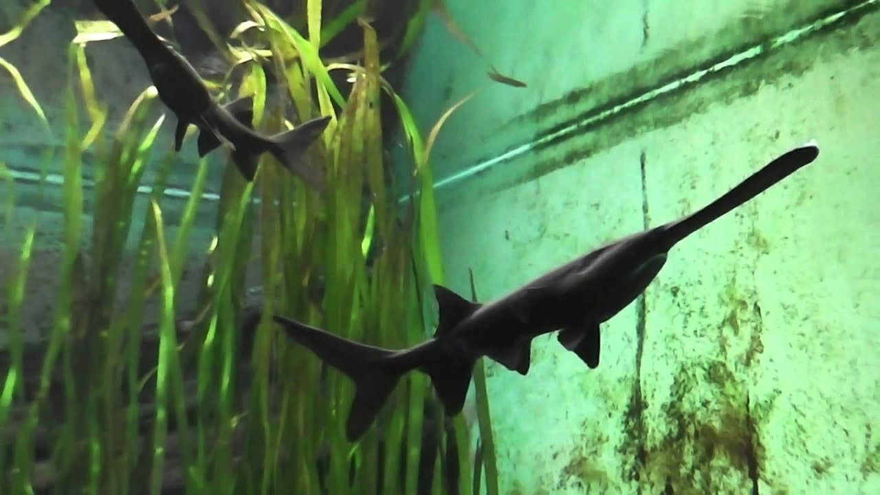 American Paddlefish   American Paddlefish In A Aquarium In Hd Youtube