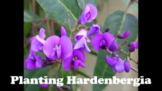 Planting Hardenbergia