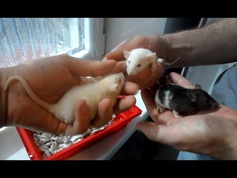 Домашние декоративные крысы дамбо и обычные.