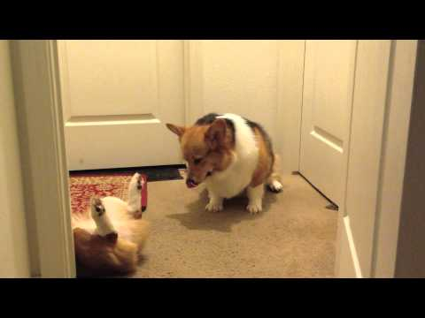World's Laziest Corgi Fight