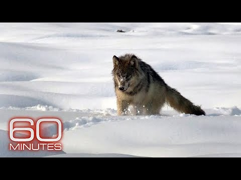 The wolves of Yellowstone: fierce and territorial