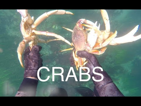 Diving For Dungeness Crab