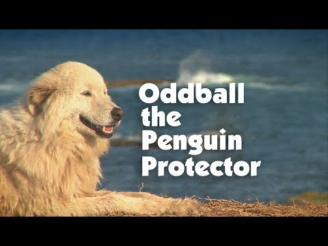 Meet The Penguin Protector, Oddball