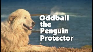 Meet The Penguin Protecting Maremma