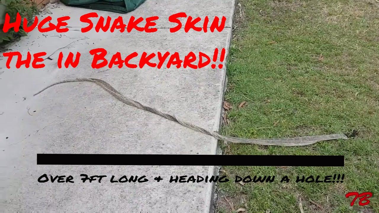 HUGE snake skin in the backyard!!! - YouTube