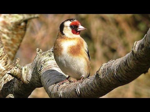 Goldfinch - Birds on The Garden Tree Branch