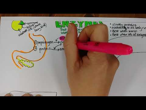 Digestive Enzyme Examples