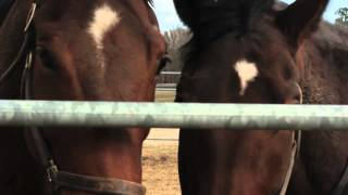 Horse Slaughter Documentary - Cut 1